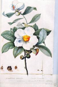 Fiore, William Bartram, fonte Wikimedia commons